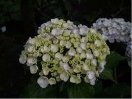Hydrangea macrophylla 'Trebah Silver' Liter 2 10-20 cm