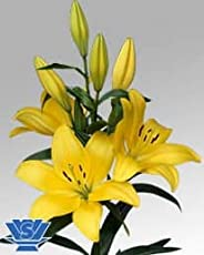 Asiatic Lily (Yellow) A pack of four bulbs