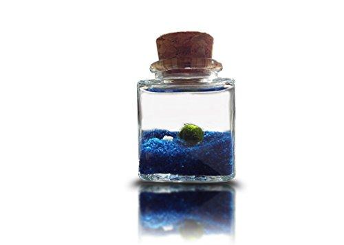 palla di muschio marimo moss pianta acquario nano cube con sabbia blu - pianta rare giapponesi dal vivo palla ball - live cladophora acquario piante terrario decorazione