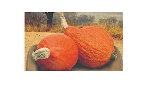 12x Kürbis Golden Hubbard - Kürbis Samen Gemüse K589