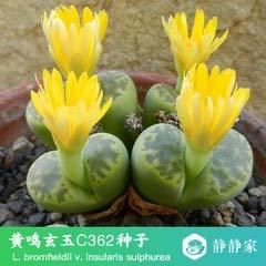 Go Garden 100% frais 50pcs réel lithops cactus succulent Semillas ~ Pierres vivantes (S49-72): Blanc