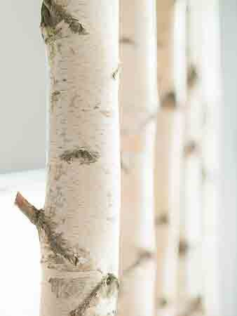 Weißer Birkenstamm getrocknet 3 Meter Länge