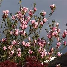Magnolie Fruchtschmuck