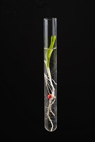 The Poster Corp Scott Sinklier/Design Pics - A Corn Seedling in a Test Tube on Black Background; Iowa United States of America Photo Print (30,48 x 48,26 cm)