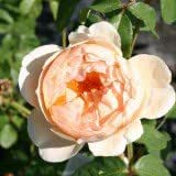 Englische Rose 'Jude The Obscure' ® - Rosa 'Jude The Obscure' ®