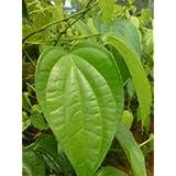 Intagro Betel Leaf Live Plant