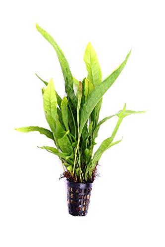 Dennerle Planta Gold