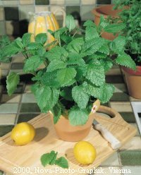 premier-seeds-direct-hrb17-herb-lemon-balm-melissa-officinalis-seeds-pack-of-2000