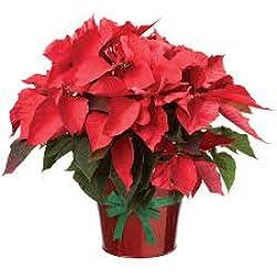 Poinsettia NATURAL, flor de Pascua.Añade tu nota personalizada gratis!