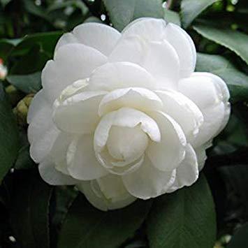 Visa Store Weiß: Davitu 10 Teile/paket Kamelie Blumen Samen Topfpflanzen Hausgarten Dekorationen Blumensamen - (Farbe: Weiß)