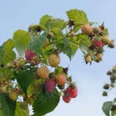 Himbo Top Himbeere Obst Pflanzensamen 100 Stratisfied Berry Pflanzensamen
