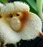 Dracula simia - Affengesicht Orchidee - 20 Samen