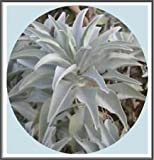 800mg California White Sage 400 + Semi ~ Sacra Salvia Apiana Cerimoniale Aromatico