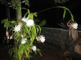 Brahmakamal Queen of the Night Epiphyllum Oxypetalum Living Plant in Poly Bag