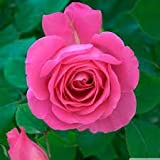 Nelesa Gardening Live Pink Rose Plant - Pink Rose Grafted Plant In Plastic Pot - 1 Plant