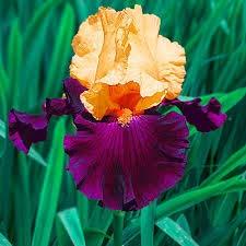 Qulista Samenhaus - Rarität Schwertlilie Peacock Butterfly Iris süß duftend 50pcs Wiesen-Iris Blumensamen winterhart mehrjährig