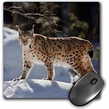 danita-delimont-lynx-eurasian-lynx-bayerischer-wald-bavaria-germany-eu10-mzw0059-martin-zwick-mousep
