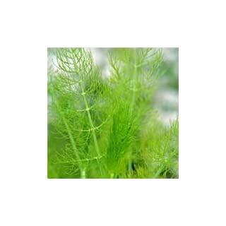 Just Seed Herb - Common Fennel Green - Foeniculum vulgare 'green' - 1000 seeds