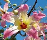 VISA STORE Chorisia speciosa exoticing semilla de borra de Seda Botella de Semillas kapok 20 Semillas