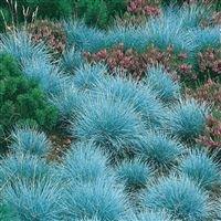 festuca-glauca-elijah-blue-blue-fescue-plant-in-9cm-pot