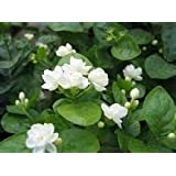 Las semillas libres de envío de jazmín blanco, jazmín de Arabia aromática planta semilla de flor de partículas 20 / bolsa