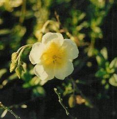 Helianthemum x cultorum 'Elfenbeinglanz' - 3 Pflanzen im 0,5 lt. Vierecktopf