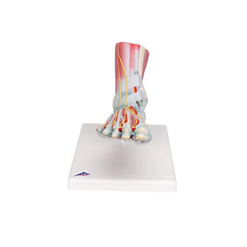 3B Scientific menschliche Anatomie - Modell des Fußskeletts mit Bändern und Muskeln - 3B Smart Anatomy