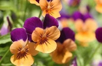 plantes de jardin fleurs pansy mélangé coloré pansy bleu jaune / couleur rouge vif des semences miniascape 50 / sac montre bonsaï