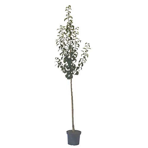 Müllers Grüner Garten Shop Birnenbaum Clairgeaus Butterbirne, aromatisch Herbstbirne Halbstamm 170-200 cm 10 L Topf auf Sämling