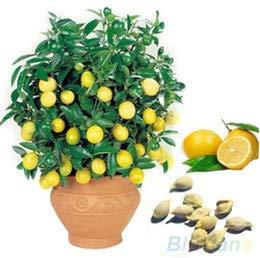 Qulista Samenhaus - 50pcs duftend Mini Zitronenbaum Bonsai Zimmerpflanze immergrün Obstsamen winterhart mehrjährig auf Balkon Terrasse