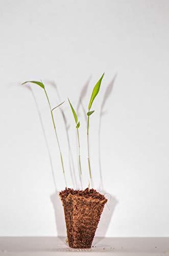3 Pflanzen Moso Riesenbambus - Sämlinge - Lieferhöhe: 5 bis 15 cm + 25 Gramm McBambus Bambusdünger