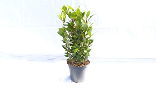 Gewürzlorbeer Pyramide Laurus nobilis 50-60 cm, echter Lorbeer, Kräuter Pflanze Kräuterküche