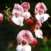 Bachblüten Original Impatiens 20 ml (20 ML)