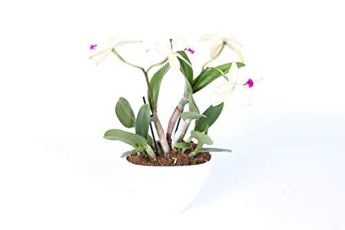 FloraStore - Orchidées Branche à petites fleurs Cattleya 2 (pot blanc) (1x), Hauteur35 CM, Plante d'Intérieur