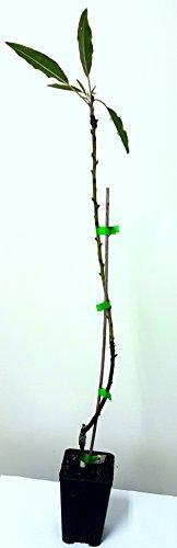 Plantel Almendro Certificado de 2 Año Guara