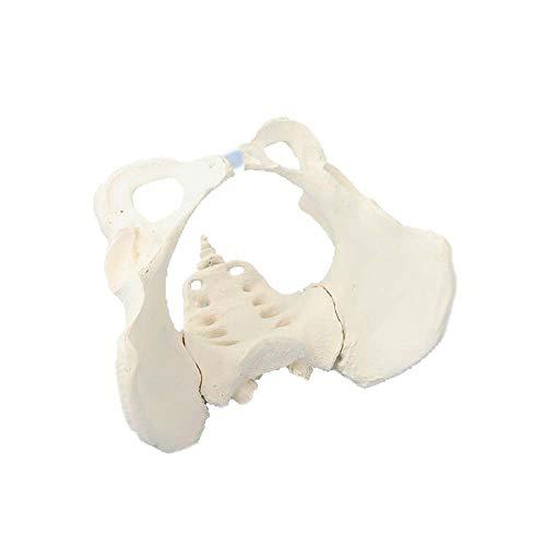 Erler Zimmer weibliches Becken mit Kreuzbein abnehmbar, Anatomie Modell -