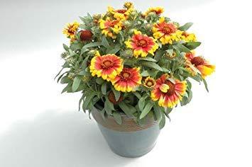 BloomGreen Co. Graines de fleurs: « Gaillardia aristata » attrayant pour les papillons et les graines Oiseaux exotiques Graines de fleurs (11 Packets) Jardin Graines de plantes