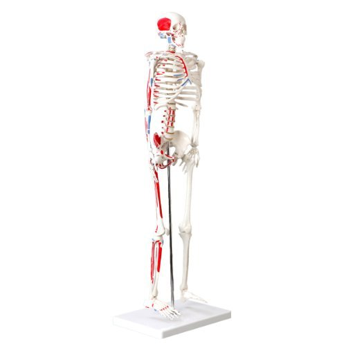 -Skelett Modell mit Muskelbemalung, 85cm - Anatomie-Modell als Lernmodell oder Lehrmittel ()