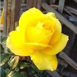 Sellify 100 graines jaunes Rose Graines de fleurs rares Rainbow Rose Fleur Amant Plantes jardin