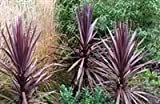 Cordyline australis Red Star, Plant in 9cm Pot