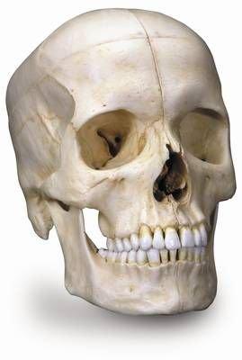 Preisvergleich Produktbild Anatomische Modelle - Künstliche Skelette und Modelle - Schädelmodelle - Systemschädel,  knöcherner Schädel,  6-teilig