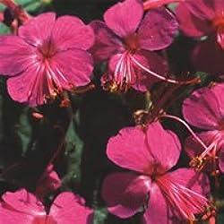 Just Seed Blume Balkan-Storchschnabel czakori 100 Samen