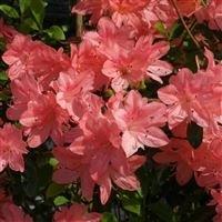 azalea-japonica-blaauws-pink-plant-in-9cm-pot