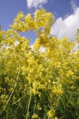 JustSeed British Wild Flower - Lady's Bedstraw - Galium verum - 3000 Seeds