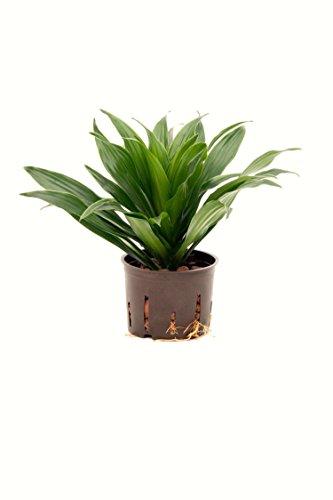 Drachenbaum, Dracaena deremensis Janet Craig, ca.25 - 30 cm, beliebte Zimmerpflanze in Hydrokultur, 11/9er Kulturtopf