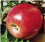 Apfelbaum Jonagold - 150 – 180 cm - Verzweigter Obstbaum - A-Qualität