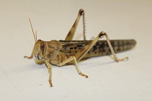 Heuschrecken Wüstenheuschrecken adult 25 Stück Futterinsekten Reptilienfutter Futtertiere