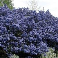 ceanothus-puget-blue-california-lilac-plant-in-9cm-pot