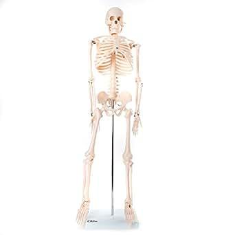 66FIT Medium Skeleton - 85cm Tall
