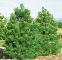 Pinus nigra 'Fastigiata' Liter 12 100-125 cm